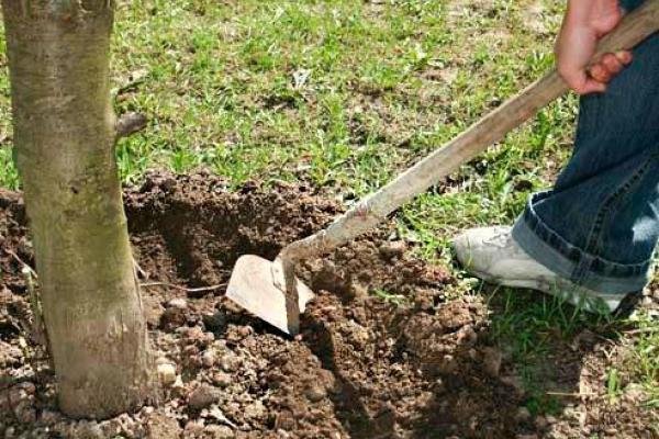 Рыхление почвы обеспечивает хороший приток воздуха к корням