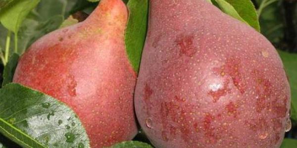 Отдельные экземпляры плодов Брянской красавицы достигают веса в 450 г.