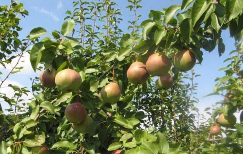 Вкусовые качества плодов груши Десертной Россошанской оцениваются на 4-5 баллов