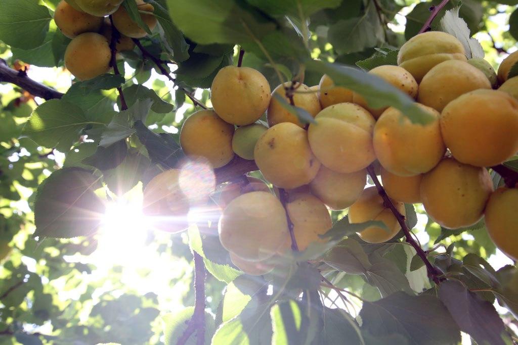 Лель красивый, у него небольшое опушение, плоды блестящие, с жемчужным блеском. Он самый вкусный — содержание кислоты и сахара гармоничное