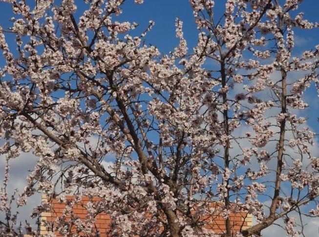 Цветёт абрикос очень быстро — буквально несколько дней и очень ароматно. Вчера ничего не было, а сегодня вот такая красота