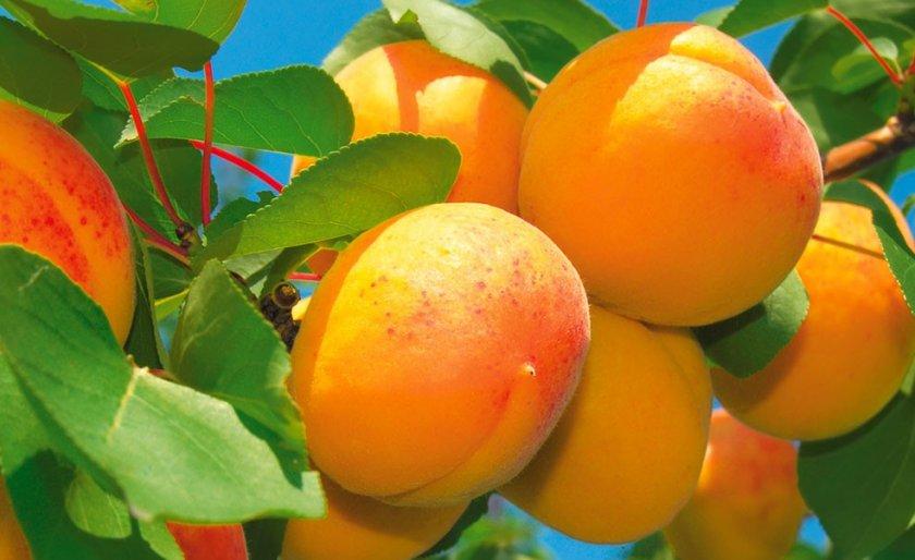 Скрещивание плодовых деревьев дало новое направления развития устойчивых сортов