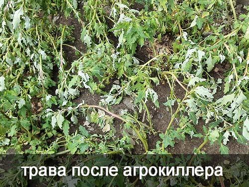 Активное вещество гербицида нарушает процесс образования питательных веществ в растении. Без питания растение погибает