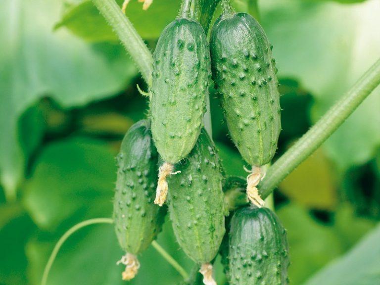 Вот какие бывают грозди на партенокарпических сортах