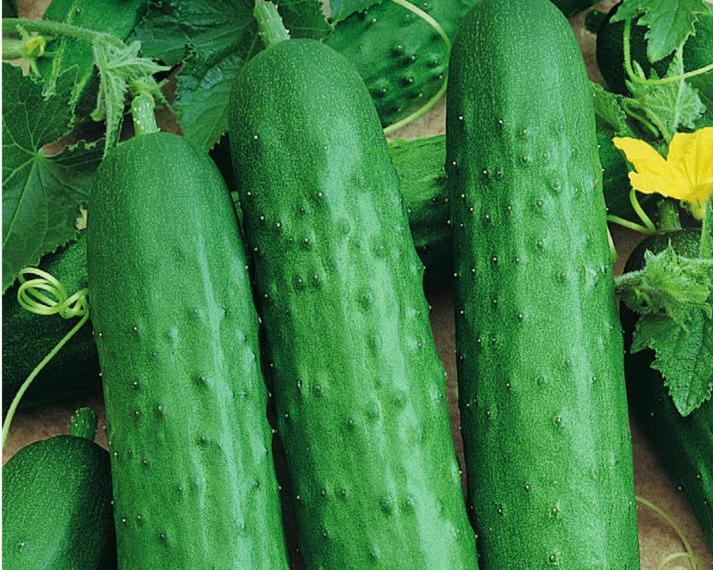 Сорта огурцов 🥒 для открытого грунта: лучшие виды, как сажать поздние семена, фото с описанием  🌱 Все о посадке и выращивании