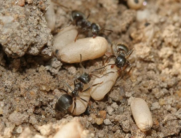 При механических методах можно просто выкопать муравейник и убрать