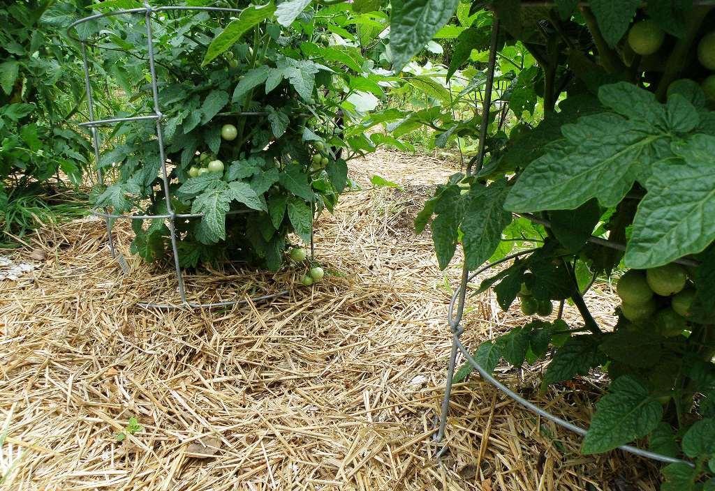 Высокие культуры хорошо растут, если в теплице почву укрыть соломой или травой