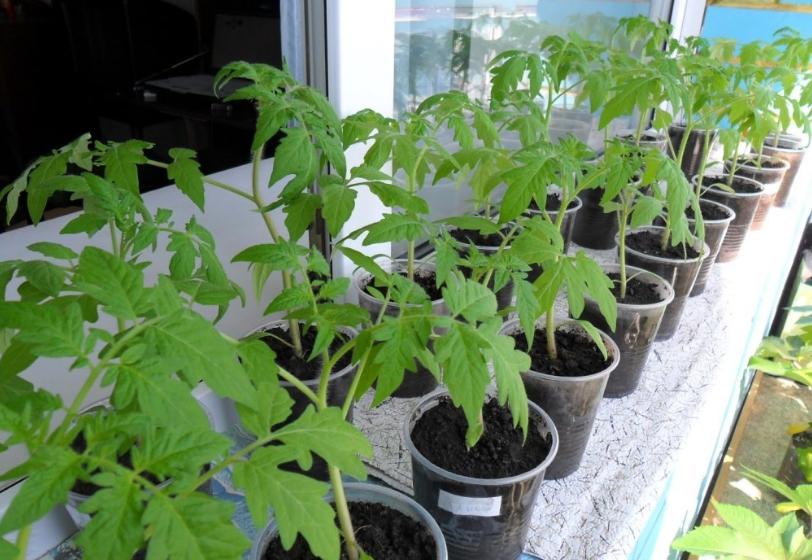 Применение корневина для рассады томатов