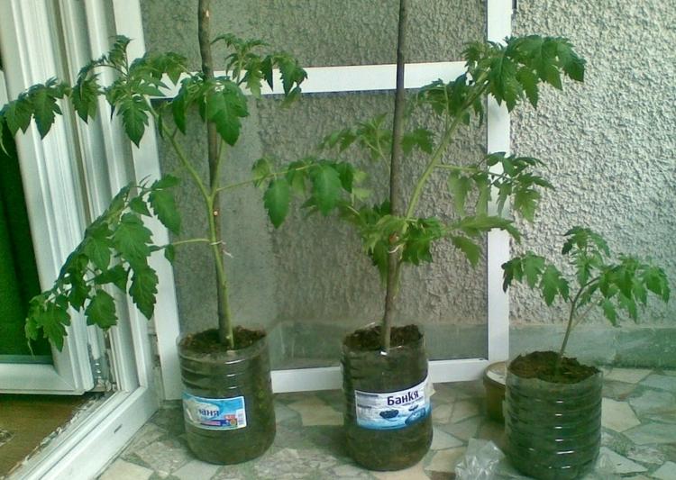 В пятилитровых емкостях от питьевой воды можно полноценно выращивать томаты