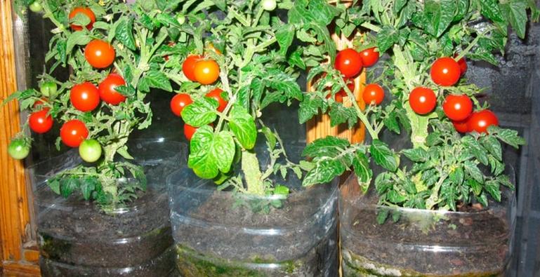 Особенно хорошо в бутылках растут карликовые породы томатов