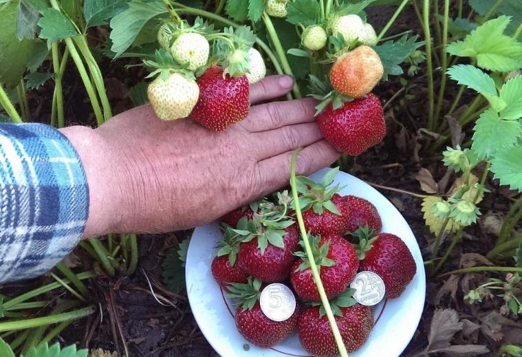 При использовании борной кислоты ягоды вырастают намного вкуснее