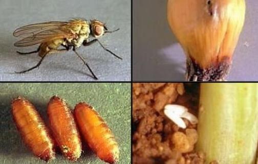 На фото — стадии развития вредителя. Для растений опасно не взрослое насекомое, а его личинки — они активно поедают плоды
