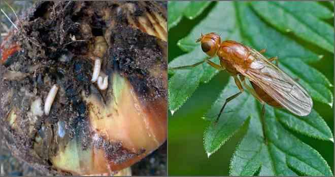 Мушка за свой жизненный цикл может отложить до 160 яиц (7–12 личинок в одной кладке). Личинки появляются с приходом тепла, в конце весны—начале лета.