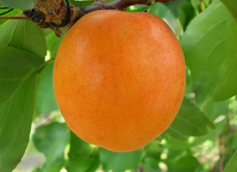 Плоды округлые, крупные, с сочной и нежной мякотью и изысканным медовым вкусом