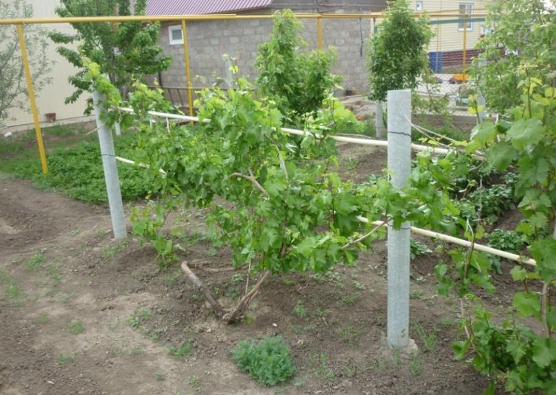 Ухоженный виноградник должен обильно плодоносить, а по факту — не дает урожай