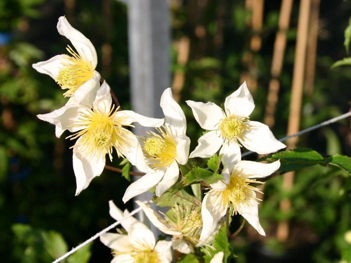 Тунгусский клематис из семян