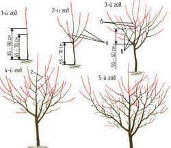 На фото — схема формирования кроны для колоновидной черешни