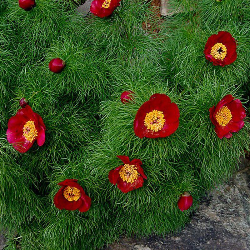 Пышные кусты обильно цветут
