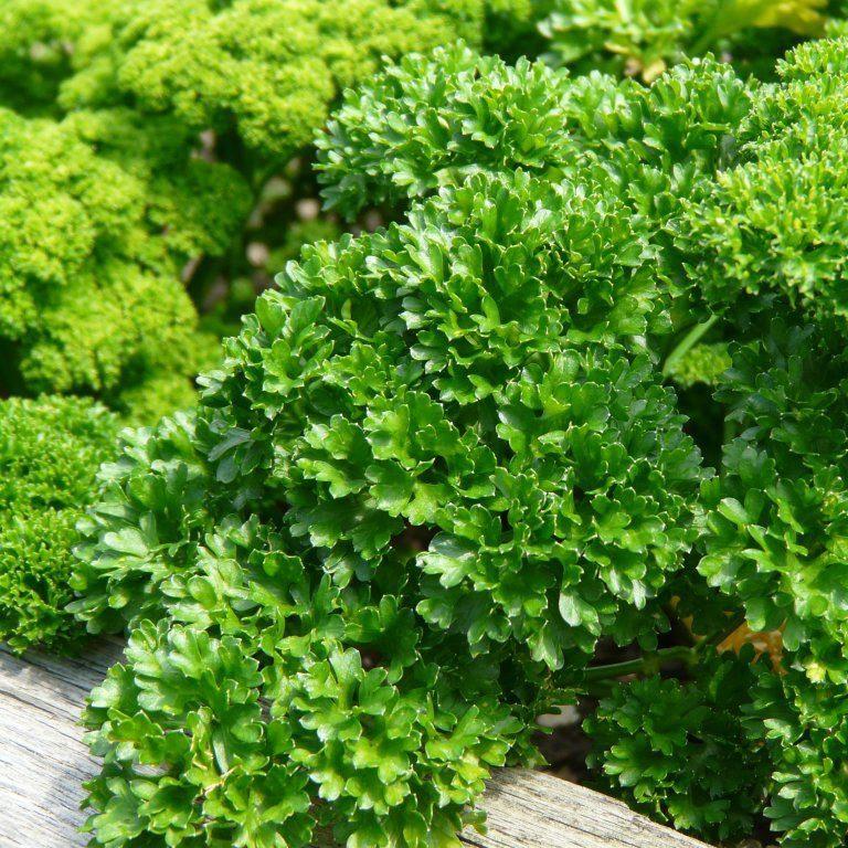 Ажурная листва отлично подходит для украшения блюд