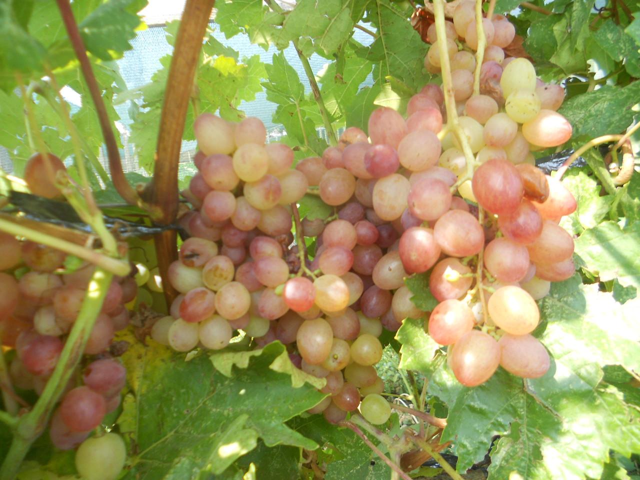Виноград велес фото описание и характеристика