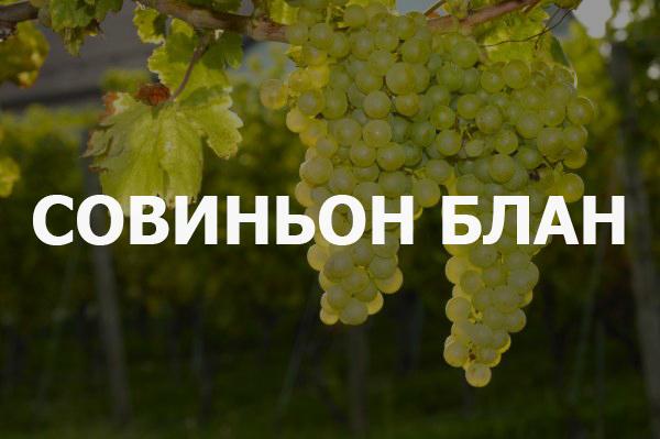 На фото — один из родителей Каберне — знаменитый сорт белого технического винограда Совиньон-Блан