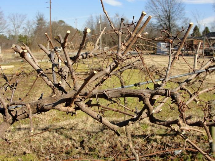 Обрезка увеличивает урожайность винограда