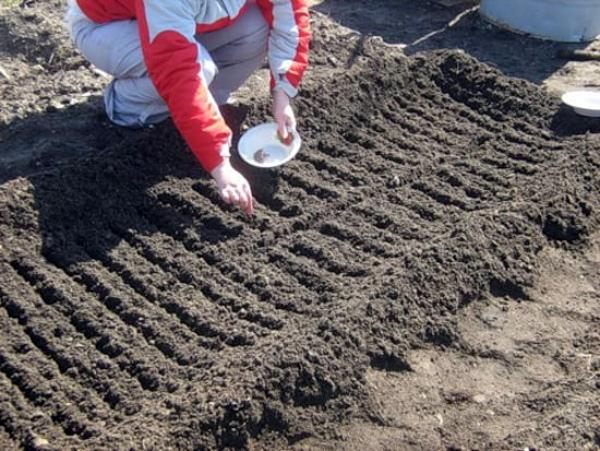 В первый раз за год семена редиса сажаются в землю в марте-апреле