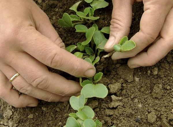 Прореживание позволяет корнеплодам вырастать крупными