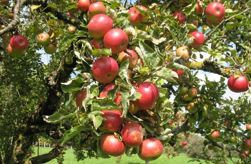 При большом количестве плодов рекомендуется ставить подпорки, так как ветки сильно наклоняются и могут сломаться