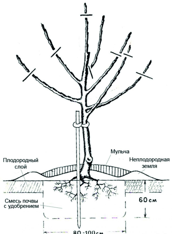 Схема правильного укоренения яблоневых саженцев
