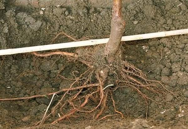 Корни растения нужно тщательно расправить, иначе саженец может не прижиться