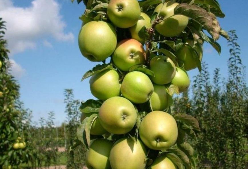 При правильном уходе дерево буквально покрыто плодами