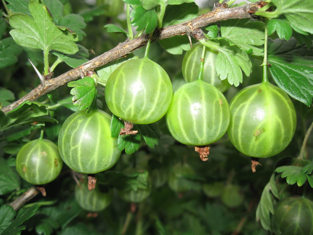 Ягоды крупные, зеленого окраса, без опушения