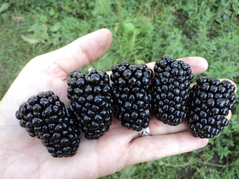 Ягоды очень крупные — масса ягоды может достигать в весе до 10 грамм