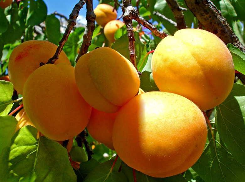 На фото— спелые абрикосы, выращиваемые в средней полосе России