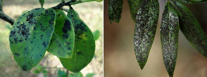 Часто из-за липкого вещества, которое выделяют белокрылки, на заражённых растениях появляются сажистые грибы— опасное грибковое заболевание. Это сильно ухудшает ситуацию и мешает лечению
