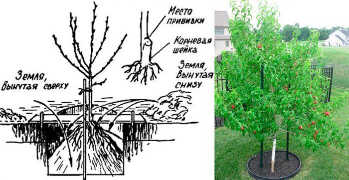 Схема посадки нектарина почти одинакова для весны и осени