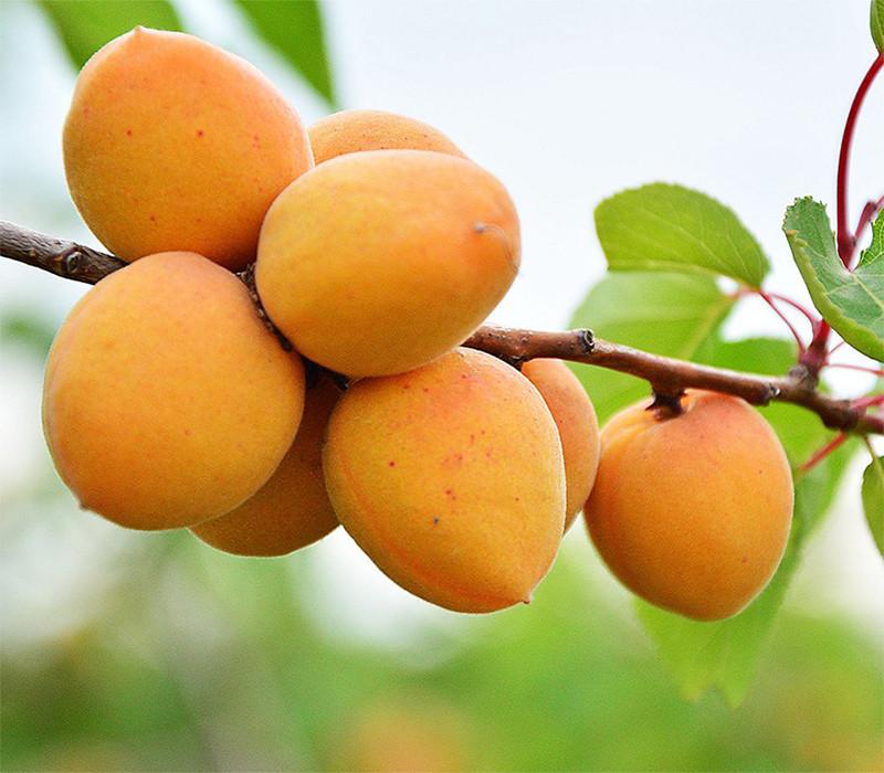 Плоды снимают не все сразу, а по мере их спелости