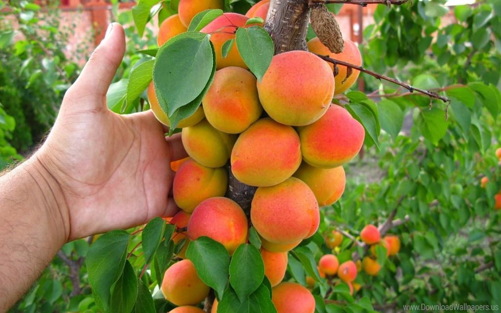 Спелые плоды колоновидной абрикосы