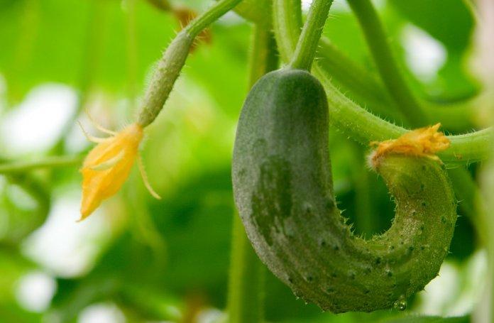 Причиной появления кривых огурцов зачастую выступают ошибки в агротехнике