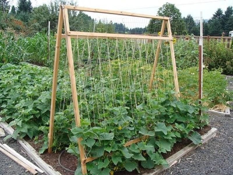 Соорудить своими руками шпалеру можно за полчаса, при этом урожайность вырастает в 1,5 – 2 раза