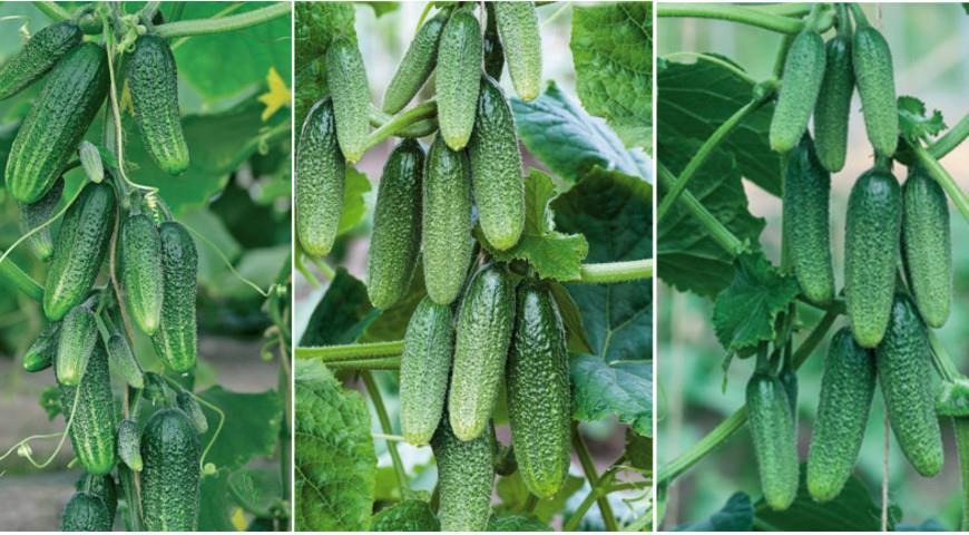 Растения самоопыляемые, подходят как для открытого грунта, так и для теплиц