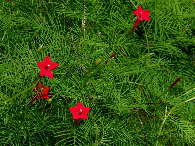 Выращивание лианы квамоклита перистого кипарисной вдоль стены дома