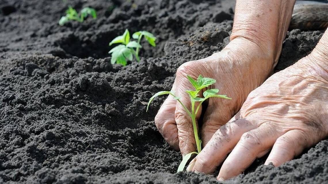 Томат Золотое руно 🍅: характеристика, описание сорта, фото 🌱 Все о посадке и выращивании