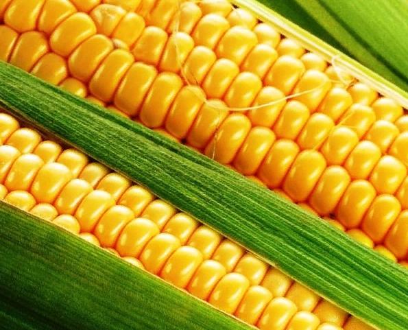 Кормовая кукуруза 🌽: характеристика, описание сорта, фото, посадка и уход 🌱 Все о посадке и выращивании