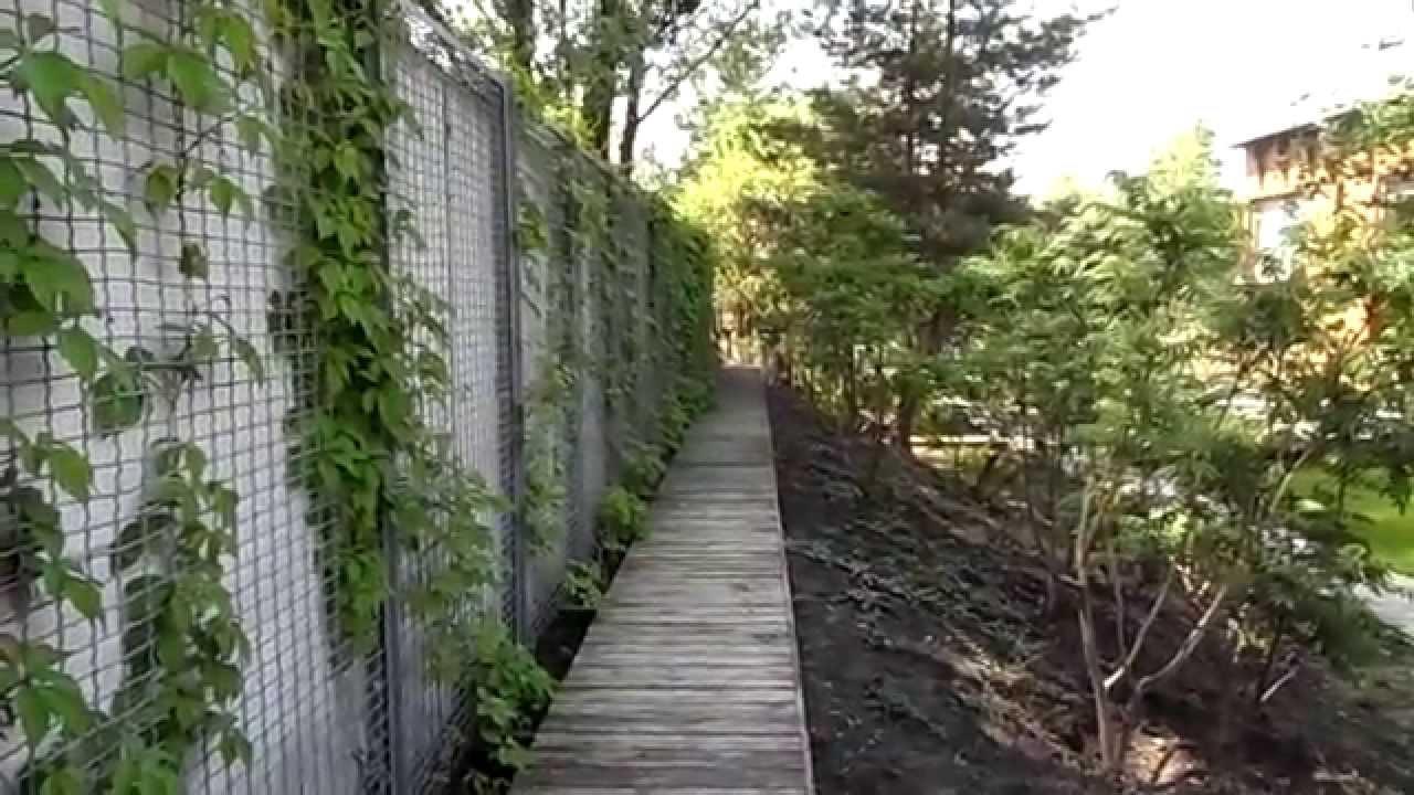Девичий виноград на заборе закрепляется металлической/пластиковой сеткой или поддерживается проволокой