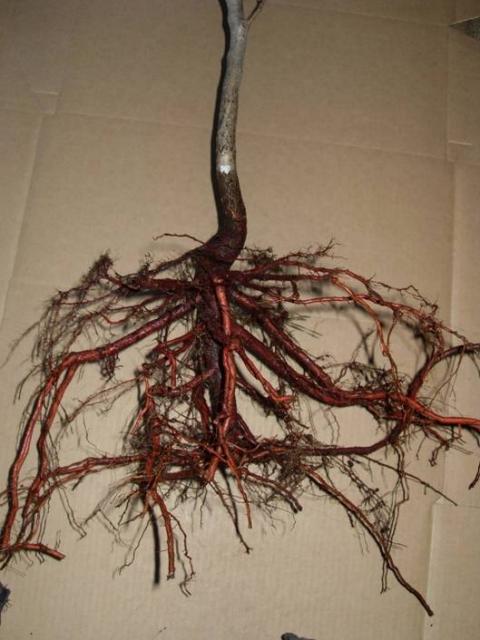 Глициния плохо переносит пересадку, так как ее корневая система мощная и разветвляется на глубине более 2-х метров