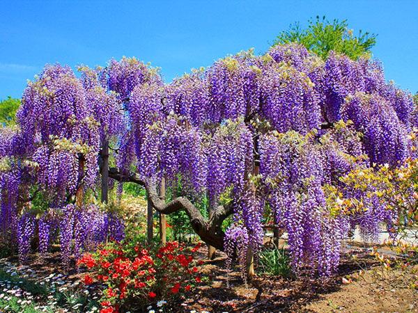За цветением глицинии китайской можно наблюдать с середины весны до конца лета, а некоторые сорта могут зацветать повторно — в сентябре