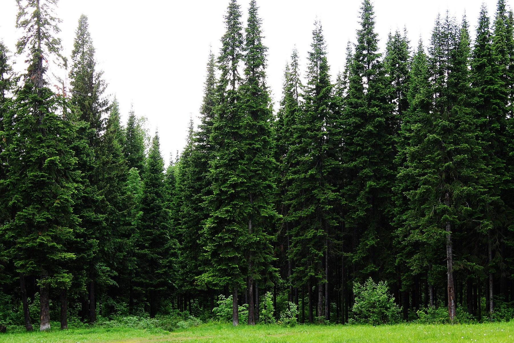 На фото — пихты в естественной среде обитания