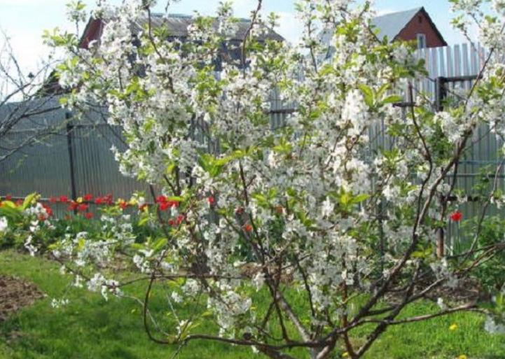 Если дерево хорошо защищено от ветра и располагается на солнечном месте, то ягоды поспевают заметно раньше